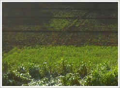 Farmland in Luxor, Egypt